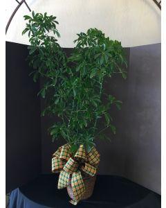 Arbaricola Plant