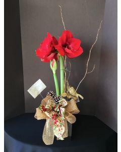 Christmas Amarillo Plant