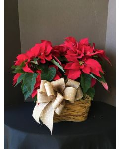 Double Poinsettia Plant