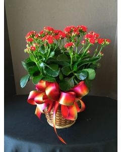 Kalancho Plant