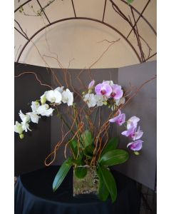 Orchid Plants of Modern Dreams