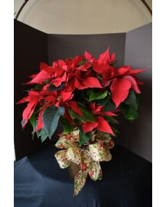 Poinsettia Plant-Large